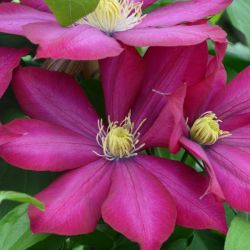 Clematis 'Bourbon' | 2.5L Pot