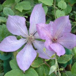 Clematis 'Margaret Hunt' | 2.5L Pot