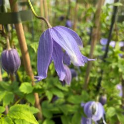 Clematis alpina 'Bredon Blue' | 3L Pot