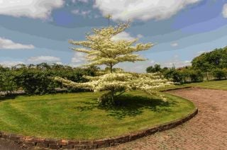 5ft Wedding Cake Tree | 12L Pot | Cornus con 'Variegata' | By Frank P Matthews™