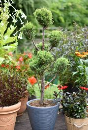Cypress Topiary Pom Poms - 'Castlewalland gold' 9l Pot