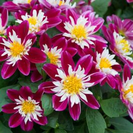 Dahlia Dahlietta 'Surprise Becky' | Pack of 15 Premium Plug Plants