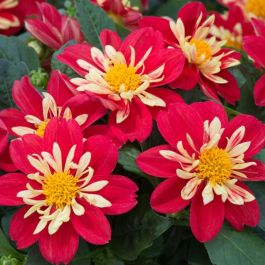 Dahlia Dahlietta 'Surprise Cindy' | Pack of 5 Premium Plug Plants