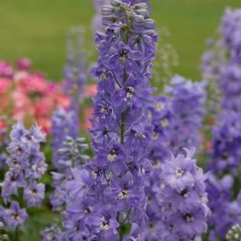 Delphinium Magic Fountains 'Lavender with White Bee' | Pack of 5 Plug Plants
