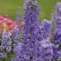 Delphinium Magic Fountains 'Lavender with White Bee' | Pack of 15 Plug Plants