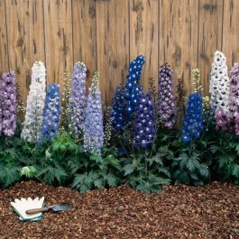 Delphinium Magic Fountains Mixed | Pack of 5 Plug Plants