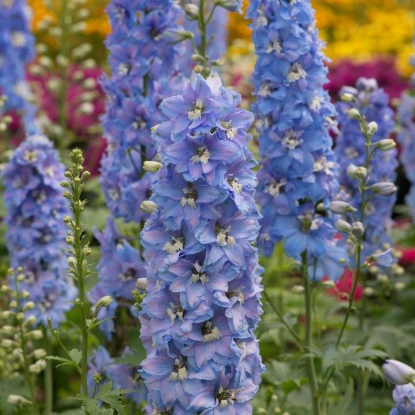 Delphinium Magic Fountains 'Sky Blue with White Bee' | Pack of 5 Plug Plants