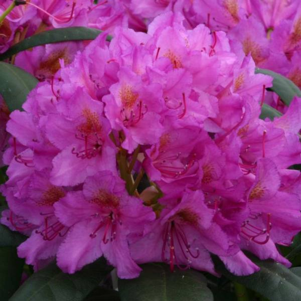 2ft Rhododendron 'Delta' | 7.5L Pot | Rhododendron Hybrid