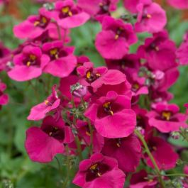 Diascia 'Diamond Fuchsia' | Pack of 5 Plug Plants