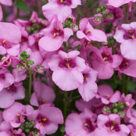 Diascia 'Diamond Pink' | Pack of 5 Plug Plants