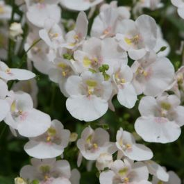 Diascia 'Diamond White Blush' | Pack of 5 Plug Plants