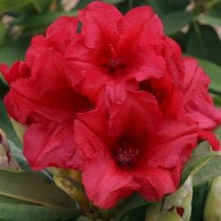 1ft Rhododendron 'Dopey' | 3L Pot | Rhododendron Yakushimanum