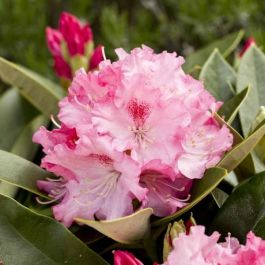 1ft Rhododendron 'Excelsior' | 3L Pot | Rhododendron Yakushimanum