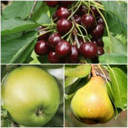 Fruit Salad Collection - Granny Smith Apple, 'Sunburst' Cherry and 'Conference' Dessert Pear Bare Root