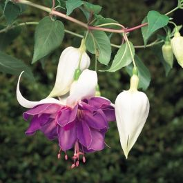 Trailing Fuchsia 'Deep Purple' | Southern Belle |Pack of 5 Plug Plants