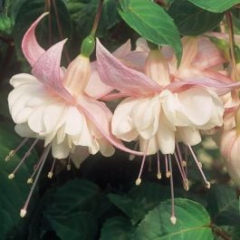 Trailing Fuchsia 'Sarah Eliza' | Southern Belle |Pack of 5 Plug Plants