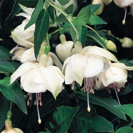 Trailing Fuchsia 'Trudi Davro' | Pack of 5 Plug Plants