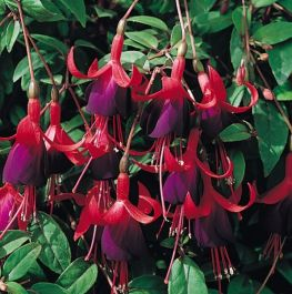 Hardy Fuchsia 'Upright Brutus' | Pack of 5 Plug Plants