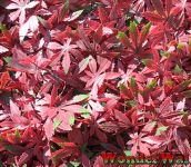 1m x 1m Red Acer Artificial Screening by Wonder Wal™