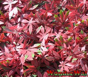 1m Red Acer Artificial Screening