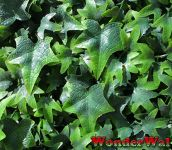 1m x 1m Traditional English Ivy Artificial Screening by Wonder Wal�
