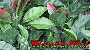 1m x 1m Skimmia Hedging Artificial Screening by Wonder Wal™