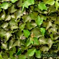 50cm x 50cm Ivy Leaf Artificial Hedge Panel by Hedged In�