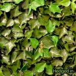 50cm x 50cm Ivy Leaf Artificial Hedge Panel
