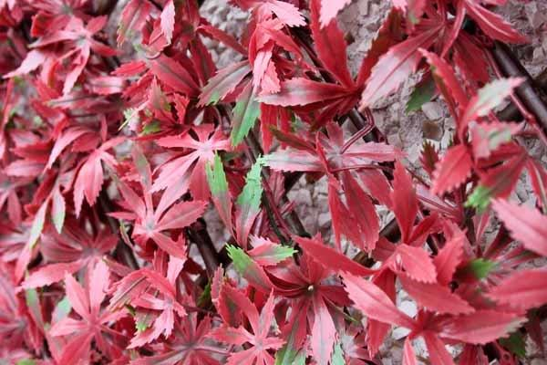 1m x 2m Extendable Artificial Red Acer Screening Trellis