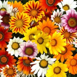 Gazania 'Sunburst' Collection | A Tray of 40 Cell Plug Plants