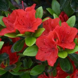1ft Evergreen Azalea 'Geisha Orange' |3L Pot | Azelea japonica