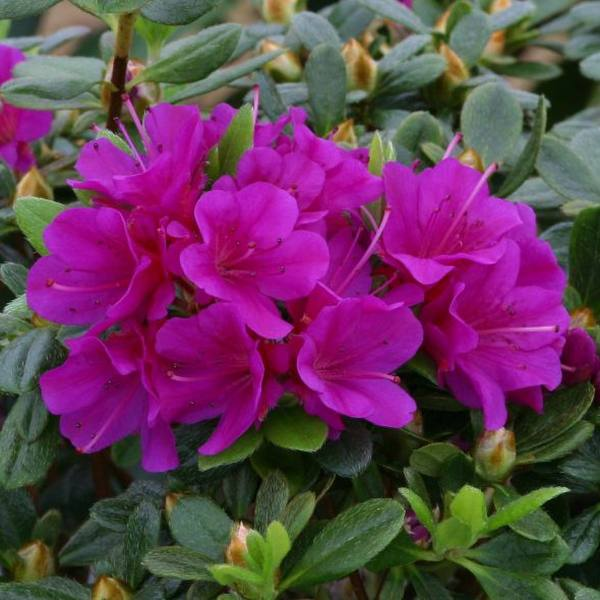 1ft Evergreen Azalea 'Geisha Purple' |3L Pot | Azelea japonica