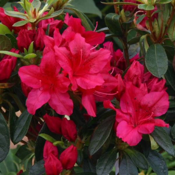 1ft Evergreen Azalea 'George Arends' |3L Pot | Azelea japonica