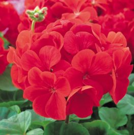 Geranium 'Bright Red' Collection | A Tray of 40 Cell Plug Plants