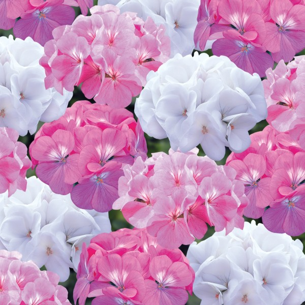 Geranium 'Candyfloss' Collection | A Tray of 40 Cell Plug Plants