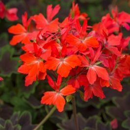 Geranium Zonal 'Chocolate' | Pack of 15 Premium Plug Plants