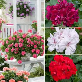 Ivy Geranium Collection | 5 Premium Plug Plants