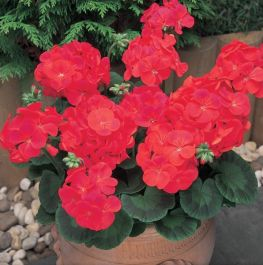 Geranium 'New Century Red' | Pack of 15 Plug Plants