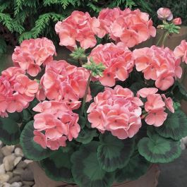 Geranium 'New Century Salmon' | Pack of 5 Plug Plants
