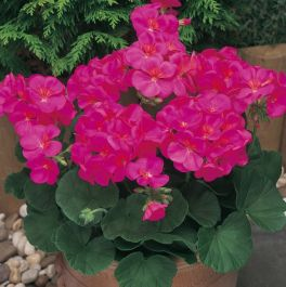 Geranium 'New Century Violet' | Pack of 5 Plug Plants