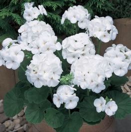 Geranium 'New Century White' | Pack of 5 Plug Plants