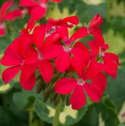 Geranium Zonal 'Happy Thought Red' | Pack of 5 Premium Plug Plants