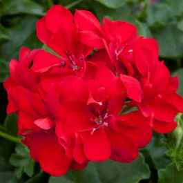 Geranium Ivy 'Precision Bright Red' | Pack of 5 X 7cm Premium Plants