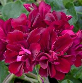 Geranium Ivy 'Precision Burgundy Red' | Pack of 5 X 7cm Premium Plants
