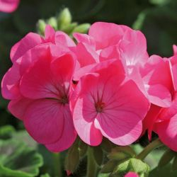 Geranium 'Rose' Collection | A Tray of 40 Cell Plug Plants