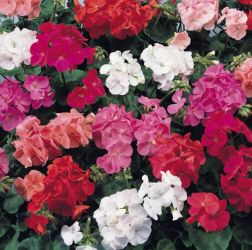 Geranium 'Show Stopper' Collection | A Tray of 40 Cell Plug Plants