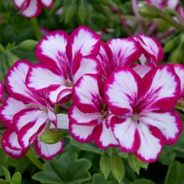 Geranium Ivy 'Supreme Burgundy White' | Pack of 5 Premium Plug Plants