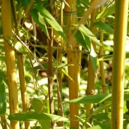 5ft Golden Bamboo| 10L Pot | 'Phyllostachys Aurea