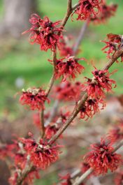 5ft Diane Witch Hazel | 12L Pot | Hamamelis x int 'Diane'
