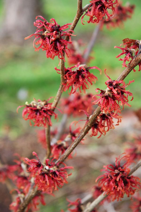 Diane' Witch Hazel 12L Pot - Hamamelis x int Diane